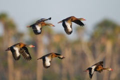 0289_Black-bellied_Whistling-Duck_03-23-2012_3