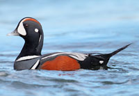Harlequin-Duck-Jacob-Spendelow