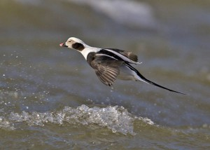 Long-tailed Duck (John Anderson)