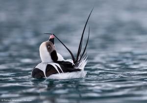 Long-tailed_Duck_male_preening_Ba¦ètsfjord_Varanger_Amundsen_Biotope[1]